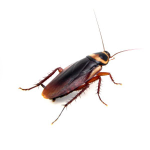 A to Z Extermination Cockroach Brown Stripe