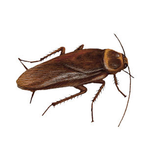 A to Z Extermination American Cockroach