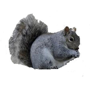 Groupe AZ Extermination exterminator gray squirrel