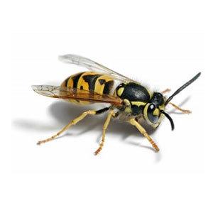 Groupe AZ Extermination exterminator wasp
