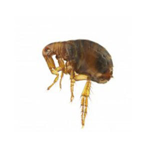 Groupe AZ Extermination exterminator Flea