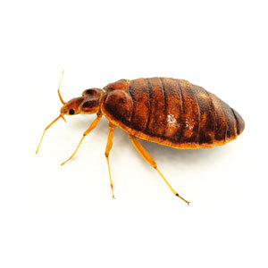 A to Z Extermination Bed bugs