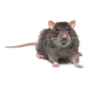 Groupe AZ Extermination Identification Rat