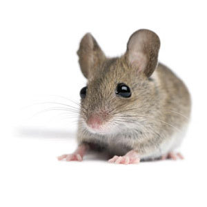 Groupe AZ Extermination exterminator Mouse