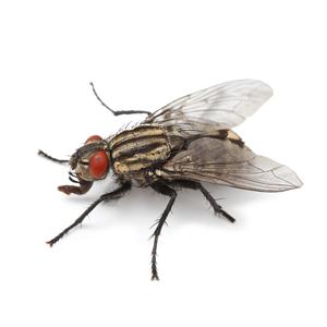 Groupe AZ Extermination exterminator Fly
