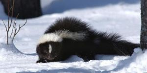 A to Z Extermination Exterminator Skunk