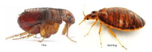A to Z Extermination Fleas or Bed Bugs