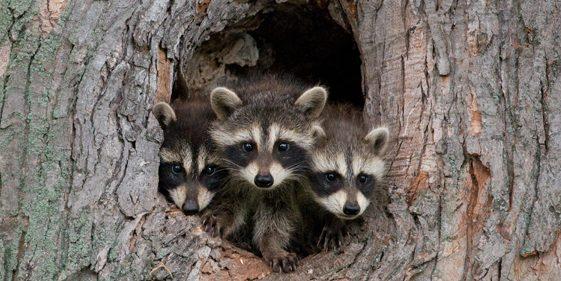 Groupe AZ Extermination Exterminator Wild Animal Identification
