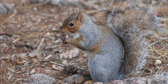 Groupe AZ Extermination exterminator gray squirrel