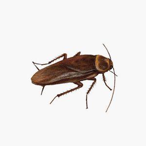 Groupe AZ Extermination exterminator american cockroach