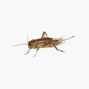 Groupe AZ Extermination exterminator House Cricket