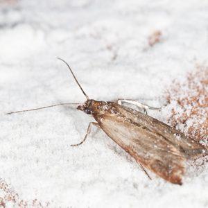 Groupe AZ Extermination exterminator Moth
