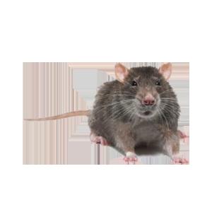 Groupe AZ Extermination Identification Rat