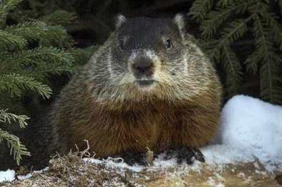 A à Z Extermination exterminateur marmotte